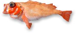 Rotbarsch beim Angeln aus dem Nordmeer