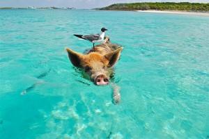 Schwein mit Möwe im Meer