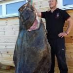 Heilbutt 223cm Länge und 170kg schwer