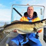 Pollackgranate Bromse Traena Arctic Fishing